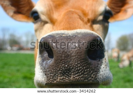 Close up of a cow's nose