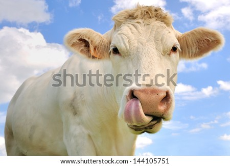 close up of a cow tongue in the nostrils - stock photo
