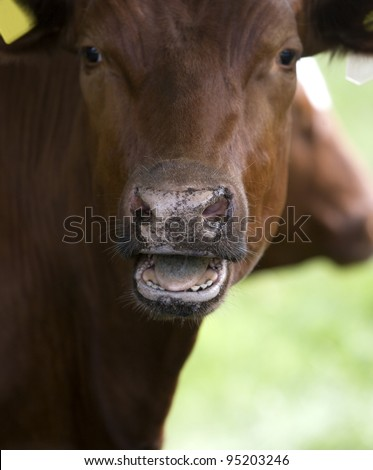 Close up of a cow with open mouth - stock photo