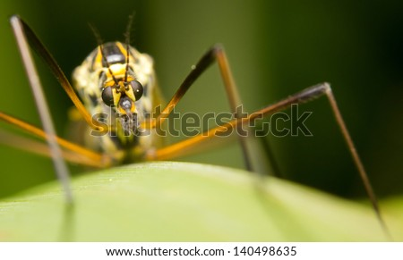Close-up of a cranefly (or daddy-longlegs) - stock photo