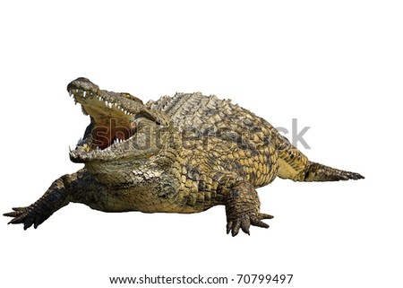 Close-up of a Crocodile against a white background