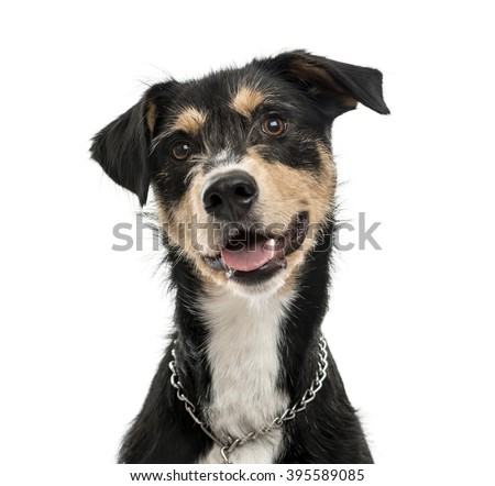 Close up of a Cross-breed dog looking at the camera and sticking his tongue out, isolated on white - stock photo