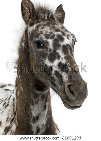 Close-up of a Crossbreed Foal between a Appaloosa and a Friesian horse, 3 months old, standing in front of white background - stock photo