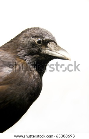 close up of a crow