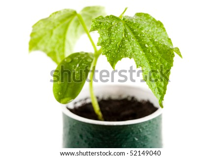 Close up of a cucumber seedling from a nursery, with water drops on it - stock photo