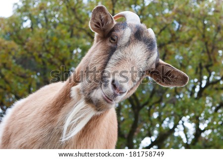 Close up of a curious Billy Goat. - stock photo