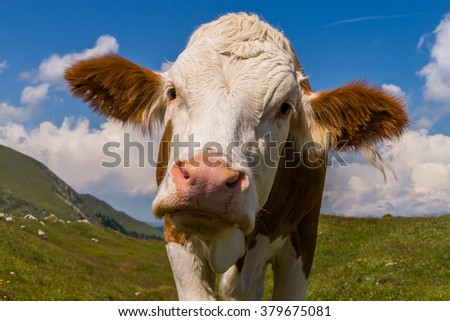 Close-up of a curious cow at an alpine pasture in Austria - stock photo