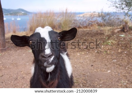 Close-up of a curious goat - stock photo