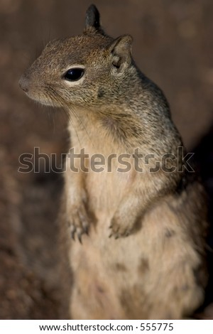 Close-up of a curious squirrel, standing on its hind legs - stock photo