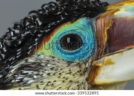 close-up of a curl crested aracaris toucan - stock photo