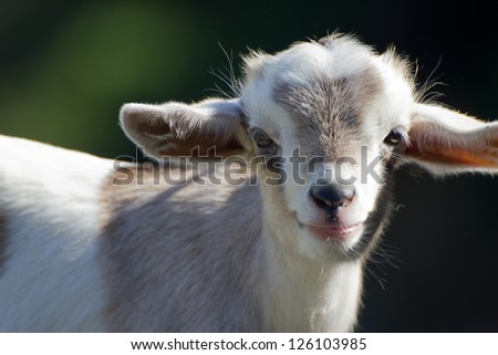 Close-up of a cute baby goat - stock photo