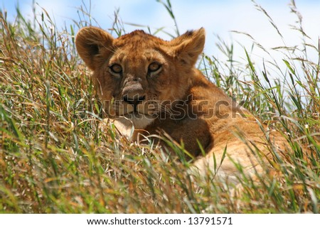 close-up of a cute lion cub - stock photo