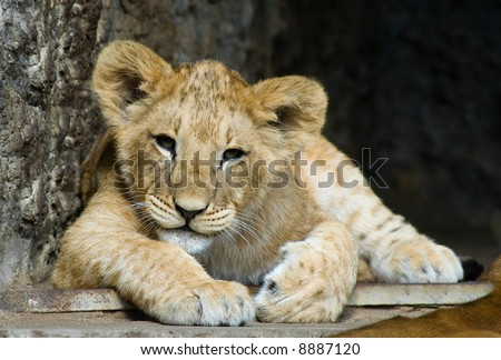close-up of a cute lion cub - stock photo