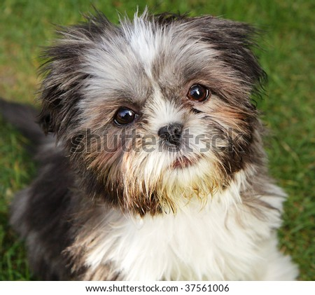 Close up of a Cute Miniature Shih Tzu Puppy - stock photo