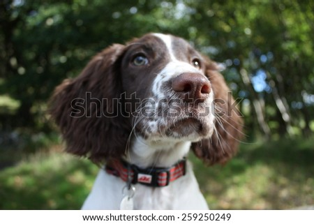 close up of a cute working type english springer spaniel pet gundog - stock photo