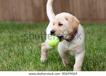 Close up of a cute yellow labrador puppy playing with a green tennis ball in the grass outdoors.  Shallow depth of field.