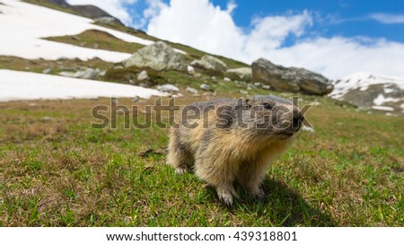 Close up of a cute young funny marmot, looking at camera, front view. Wildlife and nature reserve in the Italian French Alps. Summer adventures. - stock photo