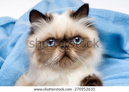 Close up of a cute young persian seal colourpoint kitten is lying in front of a blue bedspread background - stock photo