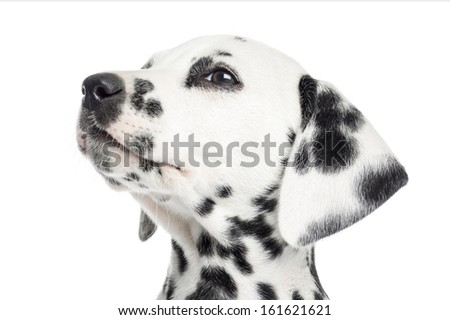 Close-up of a Dalmatian puppy, looking up, isolated on white - stock photo