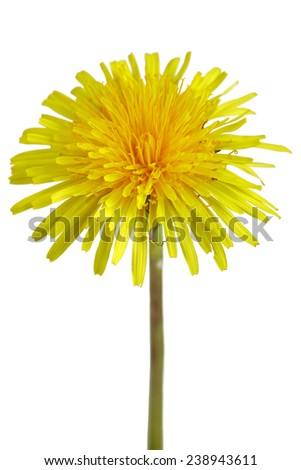Close up of a dandelion flower isolated on white background