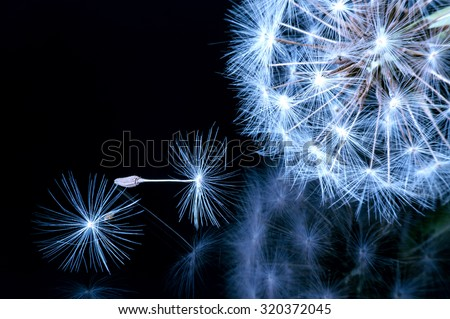 Close up of a dandelion flowers,Macro of nature.  - stock photo