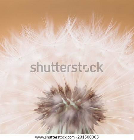 Close up of a dandelion on a background - stock photo