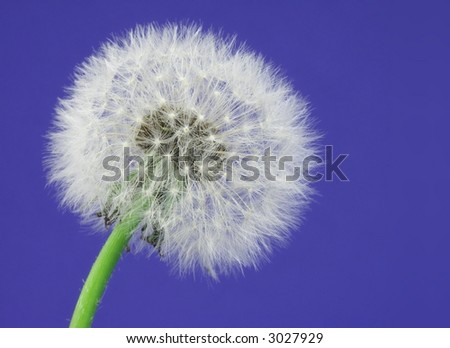 Close-up of a dandelion over a blue background. - stock photo