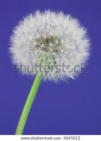 Close-up of a dandelion over blue. - stock photo