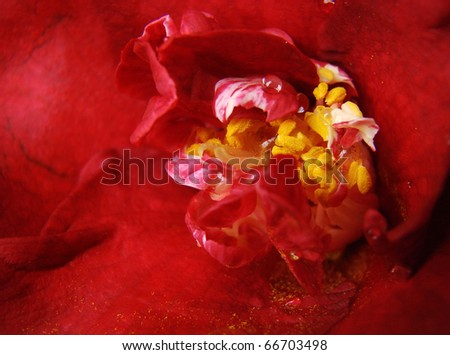 Close up of a dark red camelia