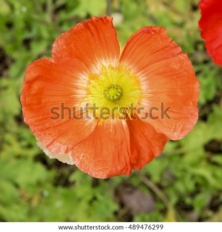 Close up of a deep orange poppy flower