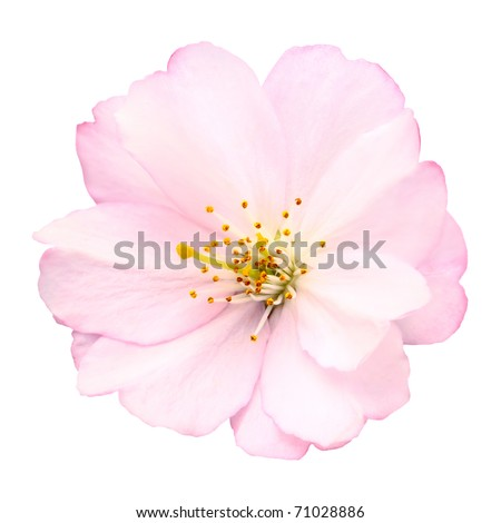 Close-up of a delicate bright pink cherry blossom on white background - stock photo