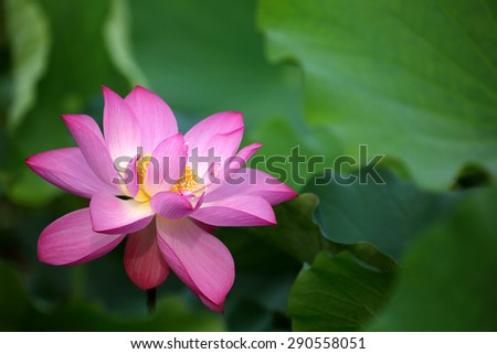 Close-up of a delicate pink lotus flower in full bloom - stock photo