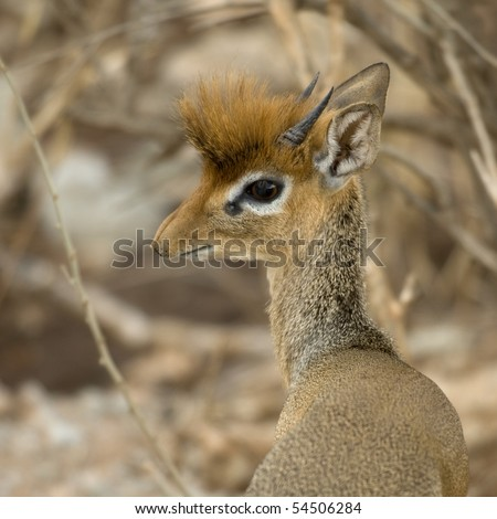 Close-up of a dik dik, Tanzania, Africa - stock photo