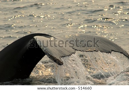 close up of a  diving Humpback whale tail - stock photo