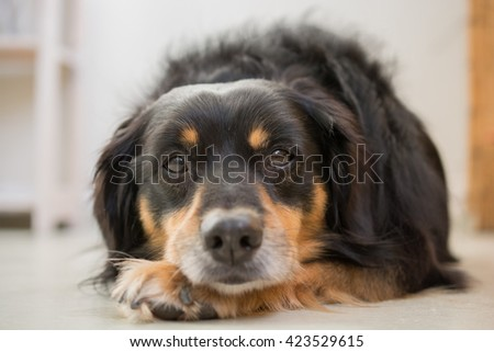 Close up of a dog lying