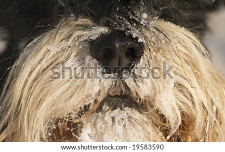 Close-up of a dog's snout covered with snow - stock photo