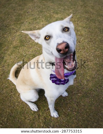Close up of a dog with her tongue hanging out at the park - stock photo