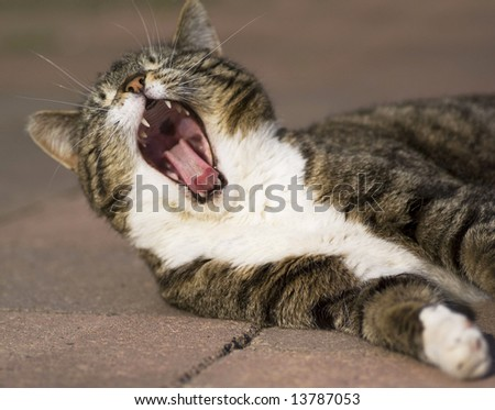 Close up of a domestic cat yawning with mouth wide open. - stock photo