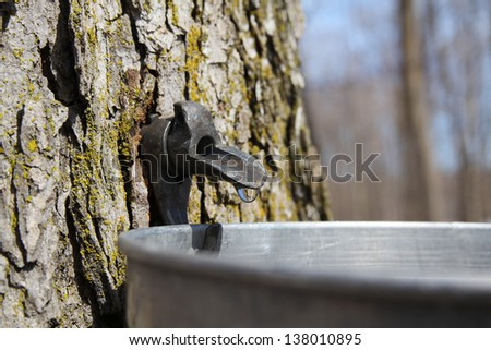 Close up of a droplet of sap flowing from the maple tree into a pail to make pure maple syrup - stock photo