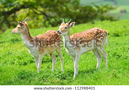 Close up of a Fallow Deer buck (Dama dama) in forest