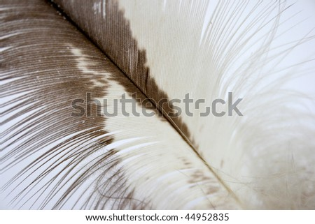 Close-up of a feather from a bird of prey.