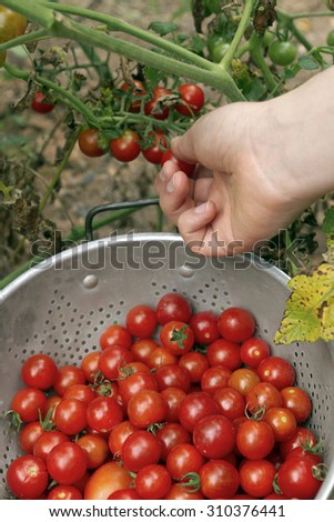 Close up of a female hand picking ripe; organic cherry tomatoes off of a dying vine in a late summer garden and placing them in a metal colander - stock photo