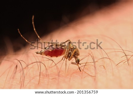 Close-up of a female mosquito sucking blood