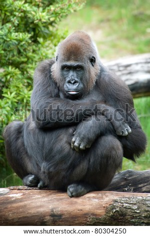 close-up of a female silverback gorilla - stock photo