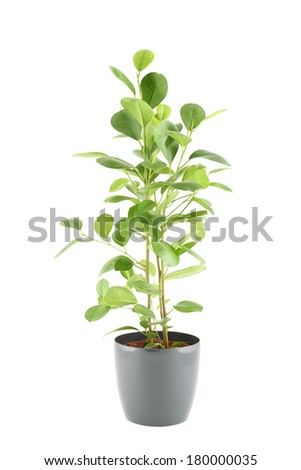 Close-up of a ficus in flowerpot.  Plant in a pot. Isolated on white background - stock photo