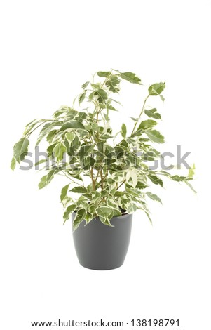 Close-up of a ficus tree in flowerpot.  Plant in a pot. Isolated - stock photo