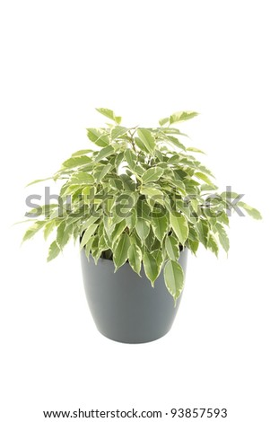 Close-up of a ficus tree in flowerpot.  Plant in a pot. Isolated on white background