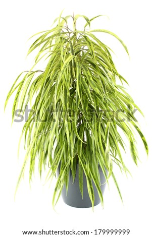 Close-up of a ficus tree.  Plant in a pot. Isolated on white background - stock photo