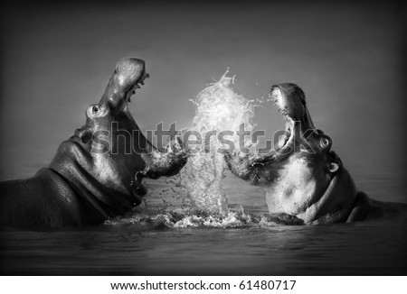 Close-up of a fierce fight between two Hippo's