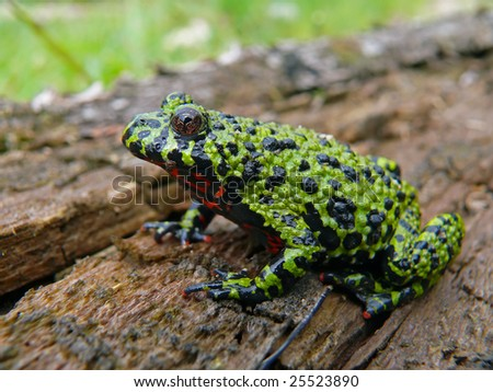 Close up of a fire-bellied toad. - stock photo